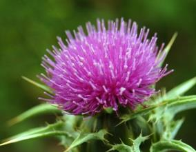 Milk thistle can protect the liver
